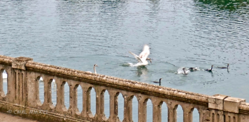 Swans vs Cormorants
