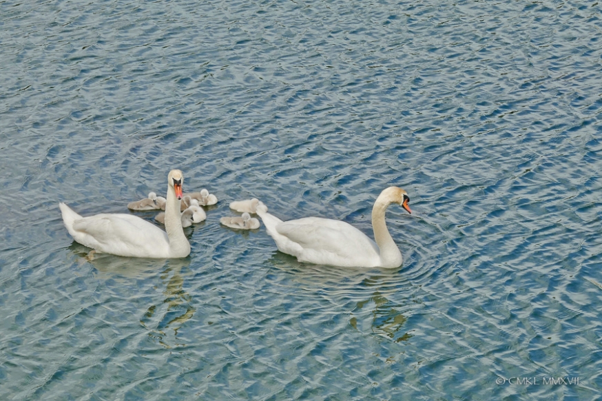Saintes.Swans.2017.03-1220900