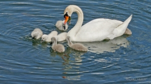 Saintes.Swans.2017.07-1220935
