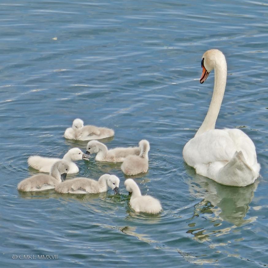 Saintes.Swans.2017.11-1220942