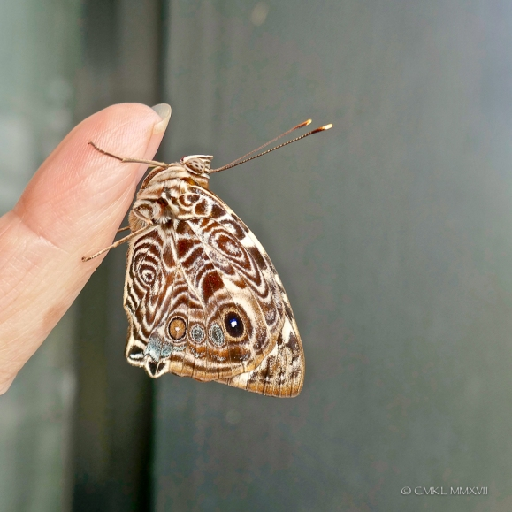 A suspiciously sluggish butterfly that needed transfer to some greenery to recover.